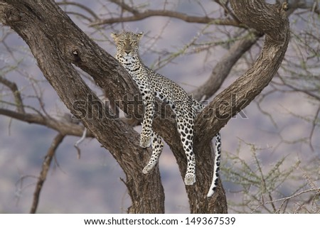 Wild leopard resting on a tree branch - stock photo
