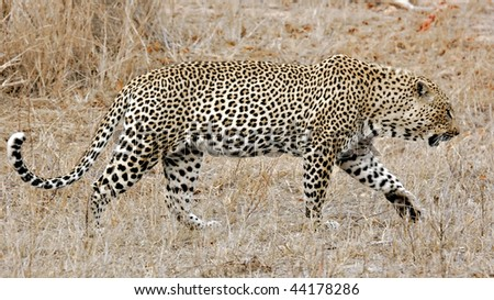 Wild Leopard, Sabi Sands, Kruger National Park, South Africa