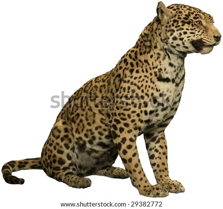 wild leopard sitting isolated on white