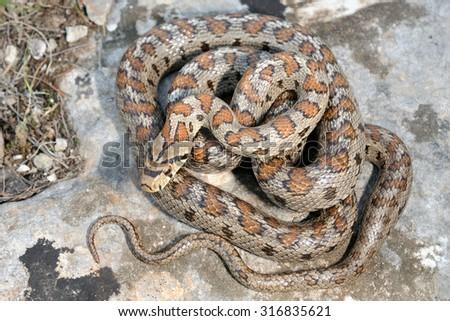 Wild leopard snake (Zamenis situla) pattern - stock photo