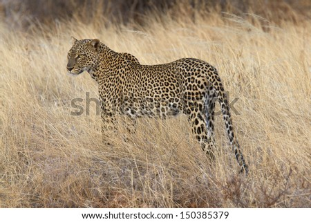 Wild leopard standing in yellow grass - stock photo