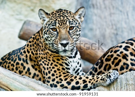 Wild Leopard, taken on a sunny day, can be use for various wild animal concepts and print outs - stock photo
