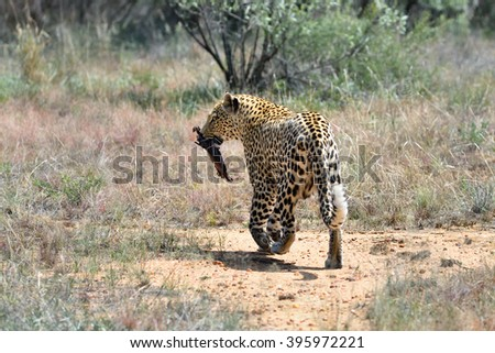 Wild leopard with prey in the African Savannah, Namibia