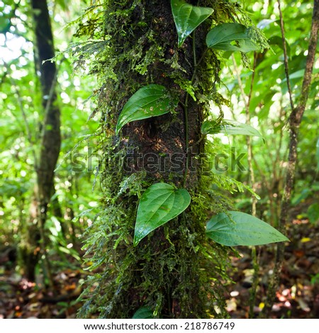 Wild liana plant growing in deep mossy tropical rain forest. Nature background - stock photo