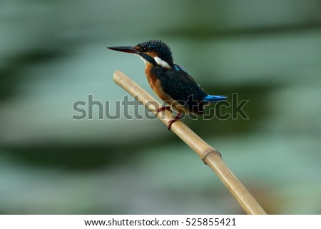 Wild life/Bird/Blue-eared Kingfisher
