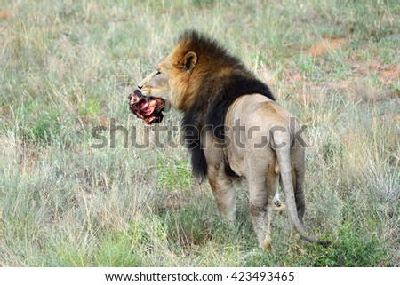 Wild Lion carries a piece of meat in his mouth in grass, Namibia, Africa - stock photo