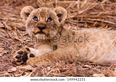 Wild lion cub looking up into the sky - stock photo