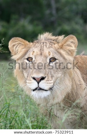 Wild lion in long grass staring into the distance