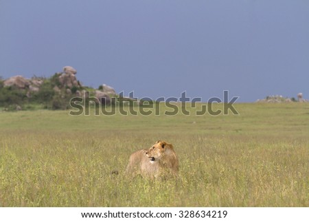 Wild lion in the grass of the savanna - stock photo