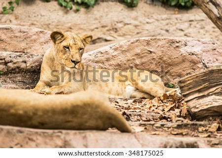 Wild lion lying on ground in zoo
