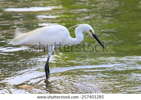 wild little egret bird feeding in water pool use for animals and wildlife in nature habitat - stock photo
