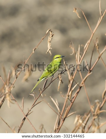 Wild Little Green Bee-eater bird merops orientalis perched on a branch in bush - stock photo