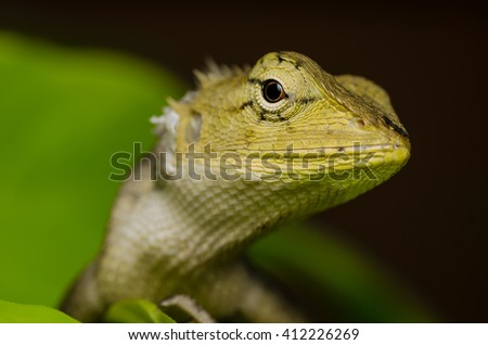 Wild lizard in Thailand close-up