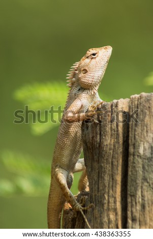 Wild lizard in Thailand closeup  with nature background