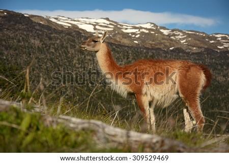 Wild llama - guanaco, Patagonia, Chile - stock photo