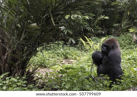 wild lonely big endangered gorilla in the forest holding stick looking