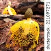 wild long net stinkhorn bamboo fungus mushrooms - stock photo