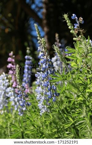 Wild lupine - stock photo