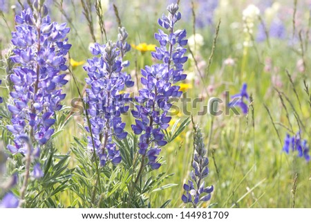 Wild lupine grows in abundance in the alpine meadows of the Rocky Mountains of Montana. - stock photo