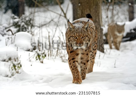 Wild Lynx in the winter forest - stock photo