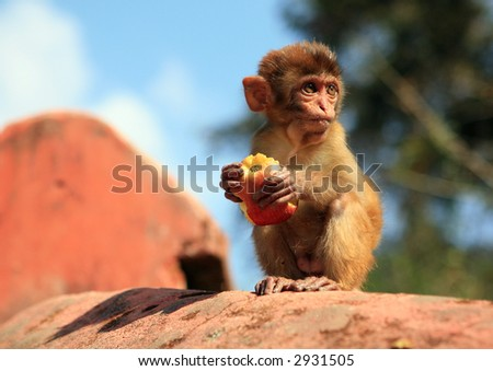 Wild macaque is eating apple. Kathmandu. Nepal - stock photo