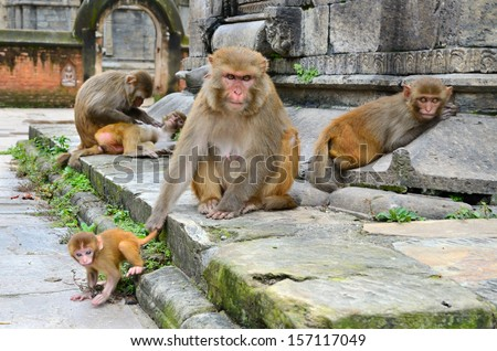 Wild macaque monkeys sitting in the old Hindu temple ruins