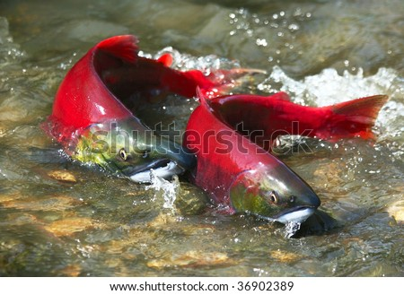 Wild male and female red salmon in river before spawning in symmetric position - stock photo