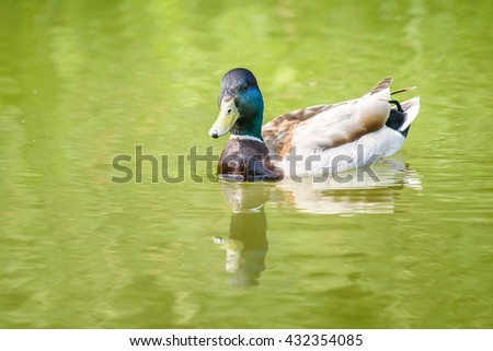 Wild Male Duck Swimming On Water - stock photo