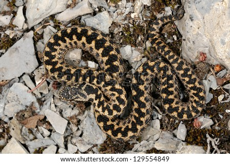 Wild male European adder (Vipera berus berus) pattern - stock photo