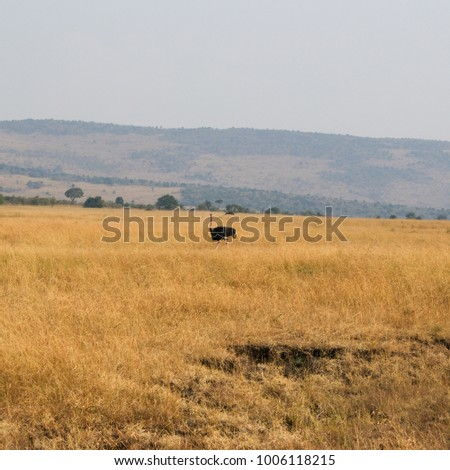 Wild Male Ostrich - Scientific name: Struthio camelus - walking proudly through tall Grass