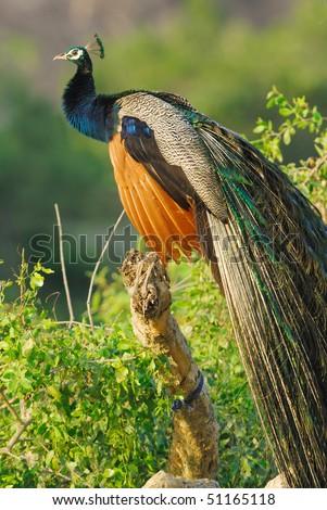 Wild male Peacock in Yala West National Park, Sri Lanka - stock photo