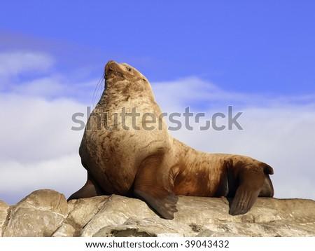 Wild Male Steller Sea Lion - stock photo