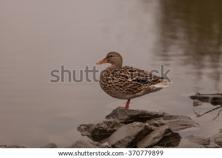 Wild Mallard duck, Anas platyrhynchos, at the edge of a pond - stock photo
