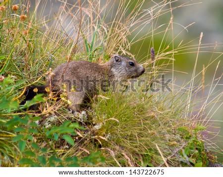 Wild Marmot (Marmota marmota) in its Natural Mountain Habitat - stock photo