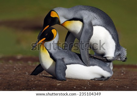 Wild mating king penguins with green background - stock photo