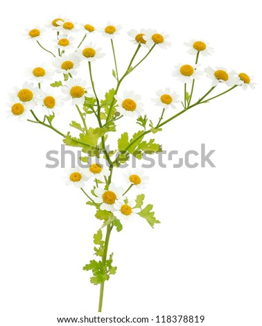 Wild meadow daisy isolated on white background - stock photo