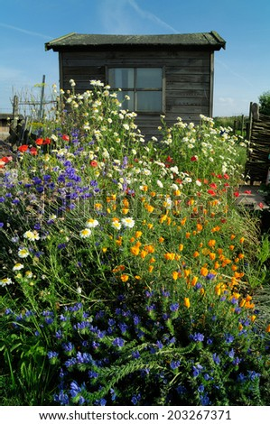 Wild meadow flowers growing on a community garden allotment in front of wooden gardening shed.  - stock photo