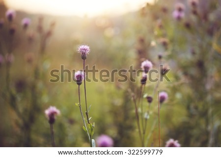 wild meadow pink flowers in autumn field in evening natural sunshine background. Vintage  outdoor autumn photo - stock photo