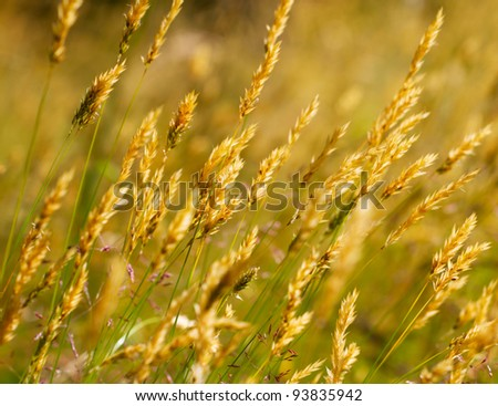 Wild meadow wheat grass close-up - stock photo