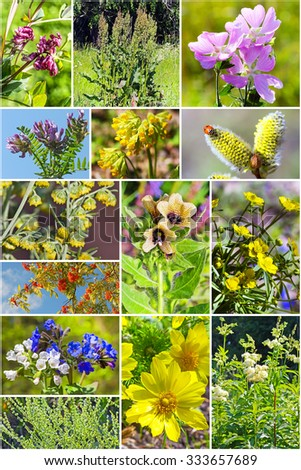 Wild medicinal plants in Siberia. A collage of photos
