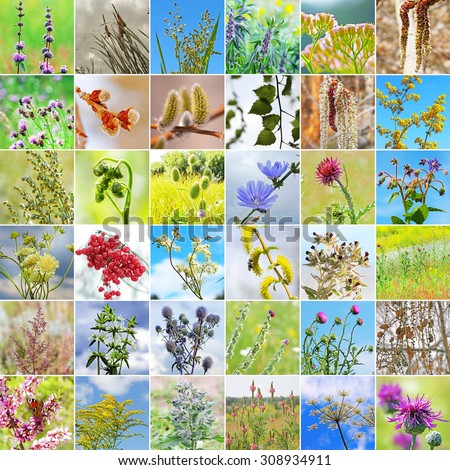 Wild medicinal plants in the region of Siberia in Russia. A collage of photos square