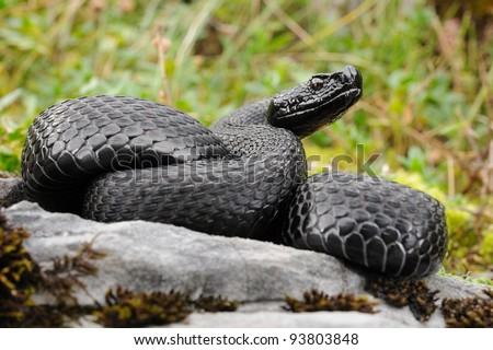 Wild melanic specimen of Alp viper (Vipera aspis atra) - stock photo
