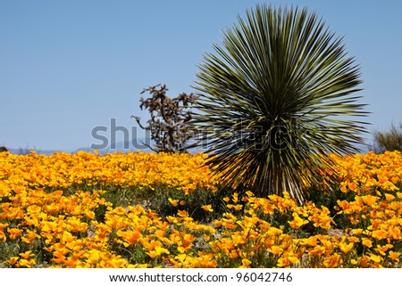 Wild Mexican Gold Poppies during Spring in Arizona/Spring Wild Flowers in Arizona, USA/Mexican Gold Poppies blaze forth in springtime near the town of Safford, in southeastern Arizona, North America. - stock photo