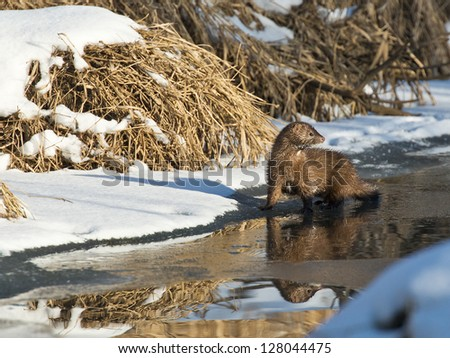 Wild Mink Hunting for food - stock photo
