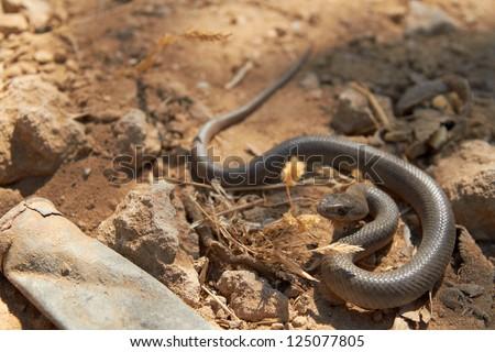 Wild Montpellier snake Malpolon monspessulanus, Corfu, Greece - stock photo