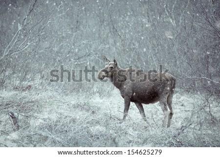 Wild Moose - stock photo