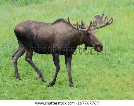 Wild Moose Bull in summer - stock photo