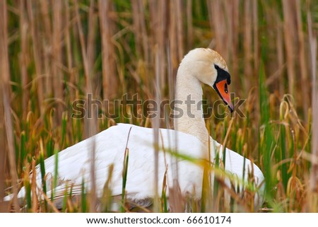 Wild Mother Swan Sits On Nest Protecting Her Eggs And Keeping Them Warm - stock photo