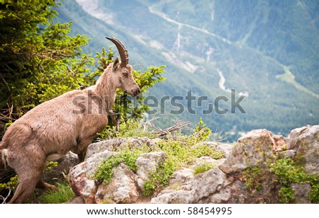 Wild mountain goat  - Capra ibex climbing on a rock in French Alps - stock photo