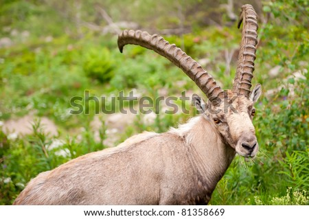 Wild mountain goat Capra Ibex close-up portrait eating grass